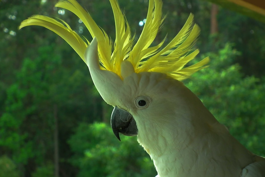 A sulphur-crested cockatoo with its comb up