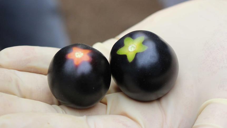 Two Yoom tomatoes