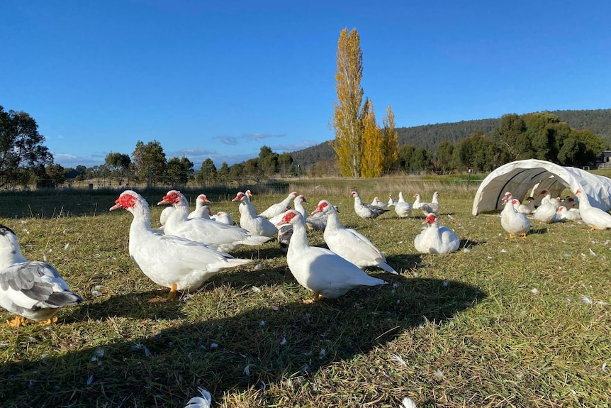 A small flock of white ducks with red faces sits in a green field.