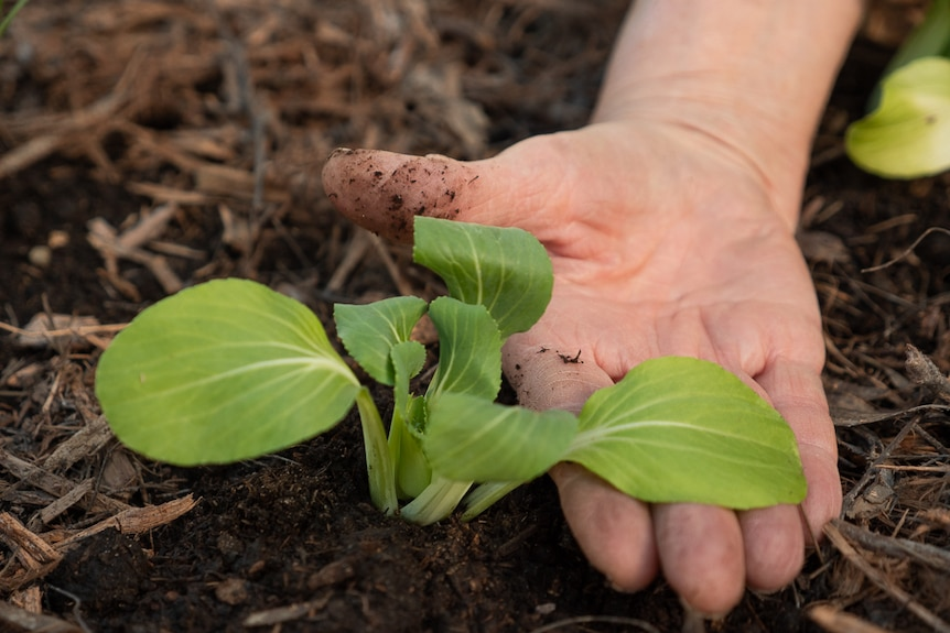 A hand displaying some leafy greens in a produce garden.