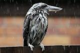 Kookaburra braves the rain