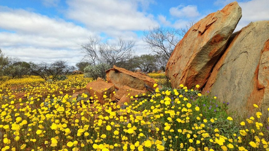 Play Audio. A carpet of yellow wildflowers surrounds a rocky outcrop and trees on Wooleen Station in W.A.. Duration: 7 minutes 15 seconds