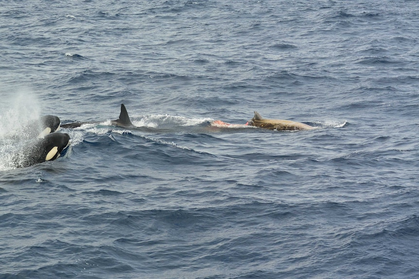 Two orcas hunt down a Cuvier's beaked whale in the ocean. The beaked whale has a chunk taken out of its body.