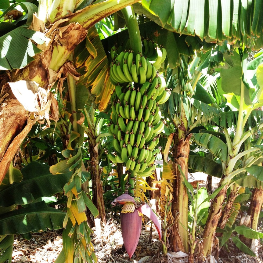 A bunch of green bananas, with red flower