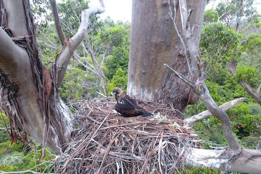 A wedge-tailed eagle sits in the middle of its nest high in a eucalypt.