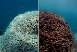 Left shows coral bleached of all its colour and the right shows the coral brown and dying.