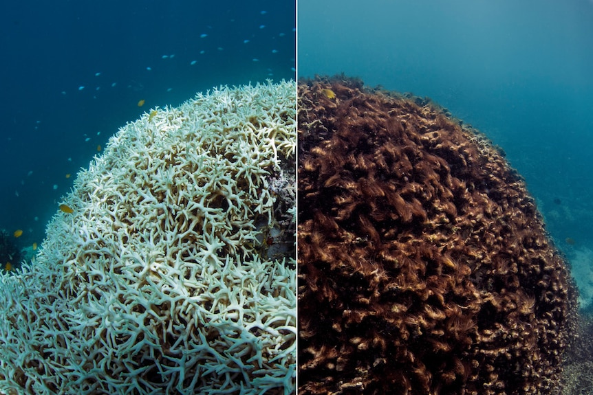 A split photo with the left showing coral bleached of all its colour and the right showing the coral brown and dying.