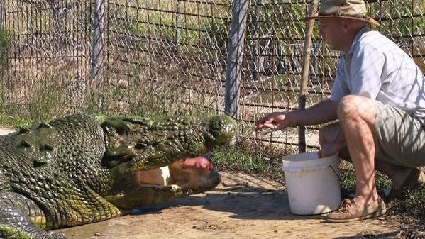 A man in shorts and a hat kneels down and feeds a large saltwater crocodile in a pen.