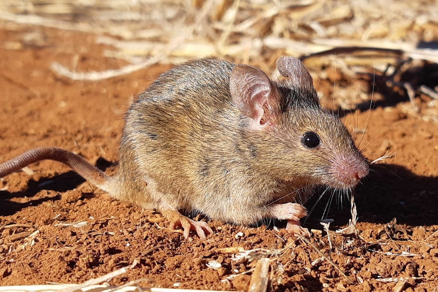 Close up image of a single mouse eating grain in Australia. CSIRO supplied photo.