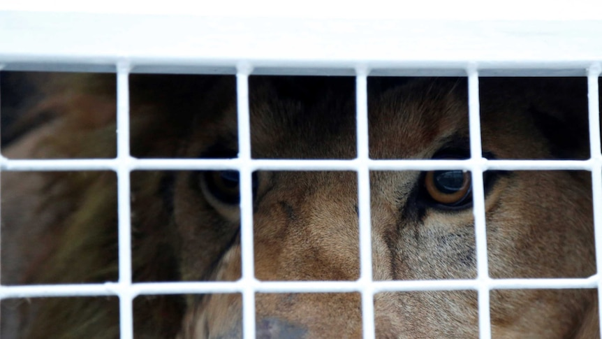 A former circus lion looks from inside his cage while preparing for transportation to a private sanctuary in South Africa.