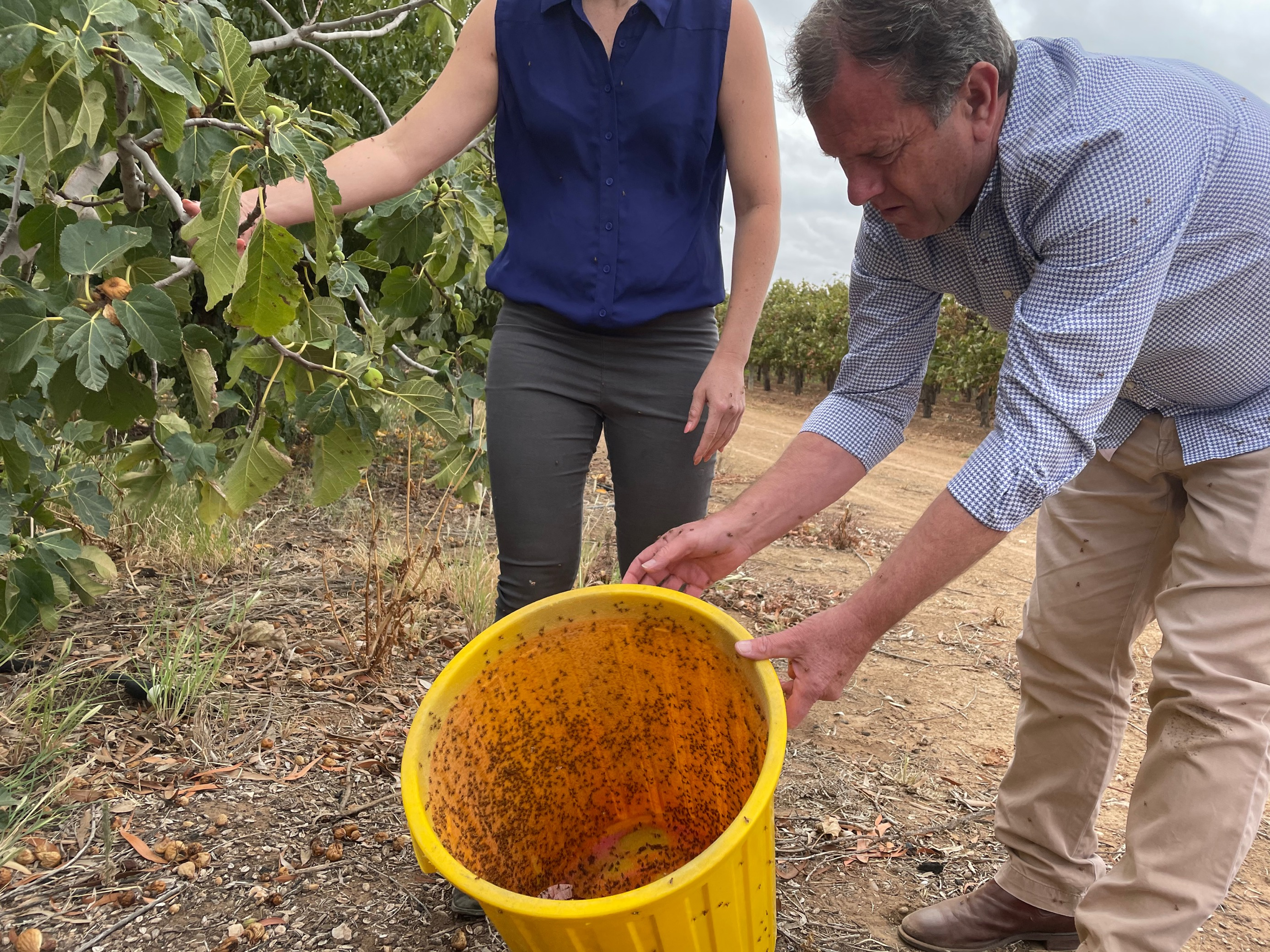 Two people standing outside holding a bucket, getting ready to release sterile fruit flies onto a plant.