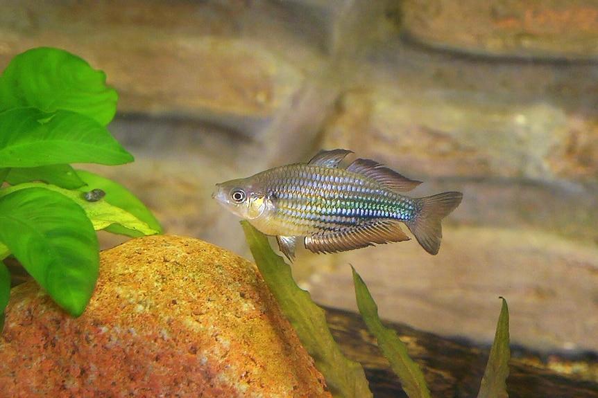 Running River Rainbowfish