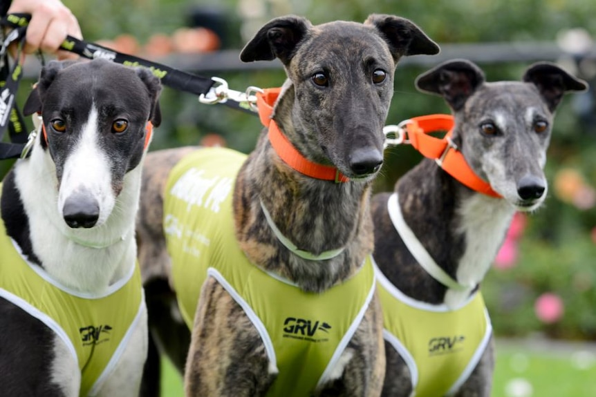 Three greyhounds that race on leads at a track in Victoria.