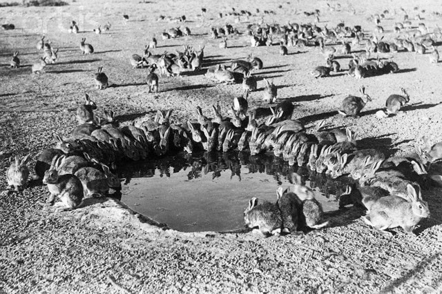 Rabbits decimated Australian farmland