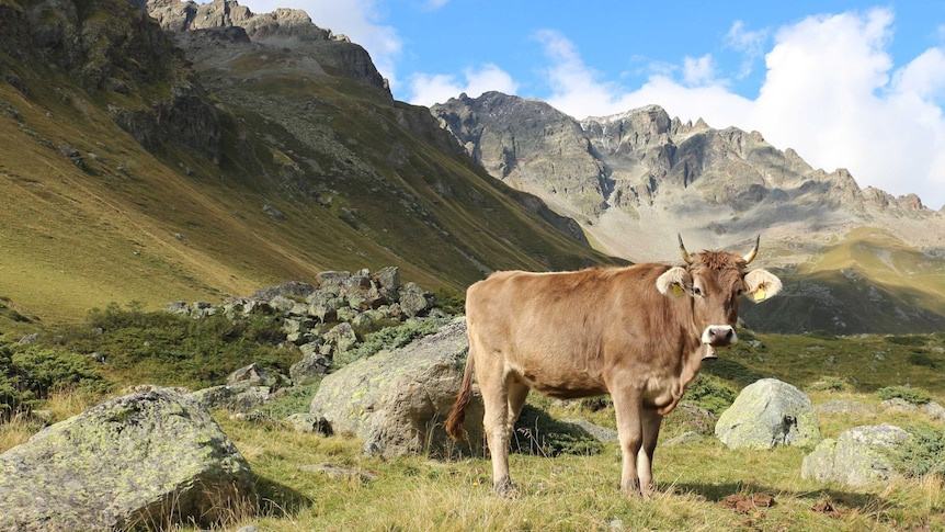 A cow with mountains in the background.