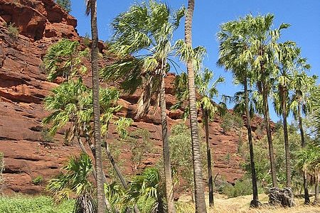 Native palm trees in central Australia.