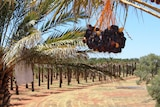 A close shot of a bunch of brown Medjool dates hanging from a 20 metre high palm