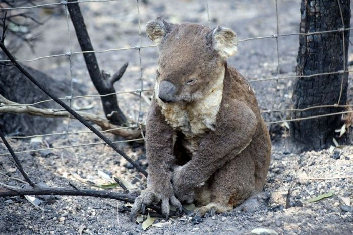 An injured koala near a fence in burnt-out bushland