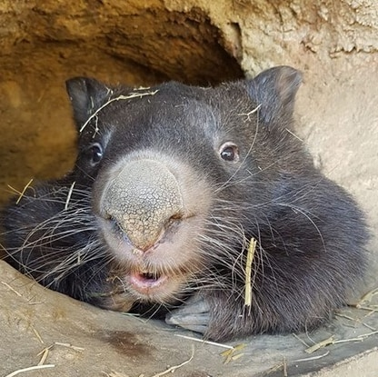 Patrick, who was believed to be the world's oldest captive wombat, at the Ballarat Wildlife Park