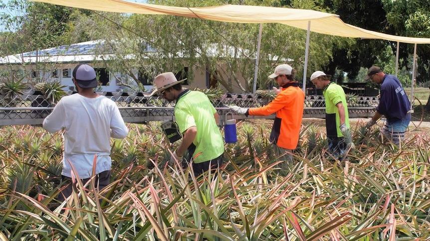 picking line in pineapple field