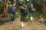 Four members of the Mackay family walking through a banana row with bunches and hands  of green bananas.