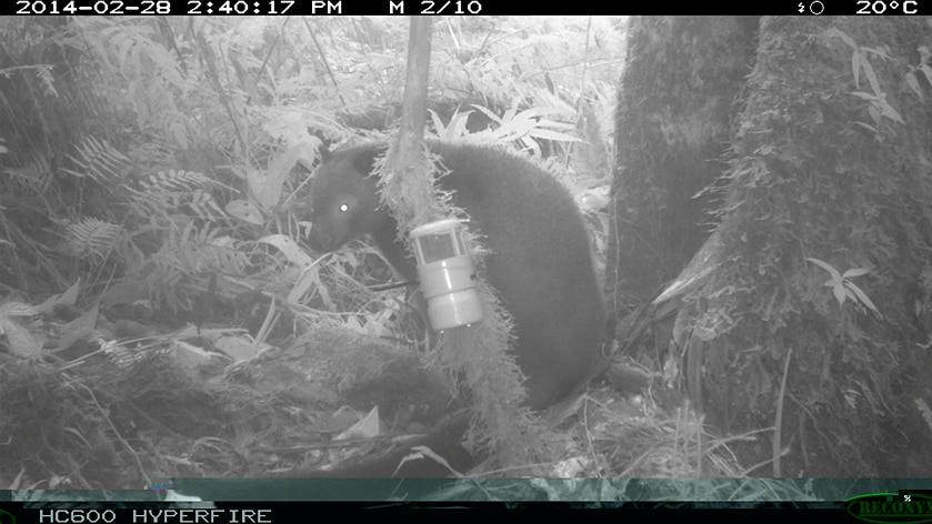 Aus scientist snaps previously unknown mammals in PNG
