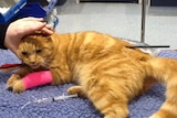 A ginger cat with a pink bandage on.