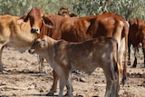 Cattle stand together on a station in northern Australia.