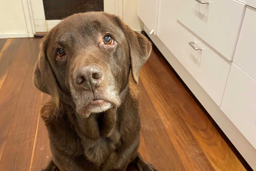 An adorable older Labrador poses for a photo in the kitch