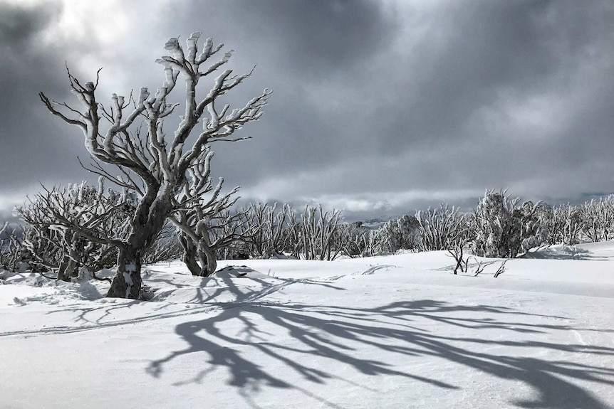 A number of trees buried in deep snow