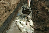Workers bury carcasses of pigs in Medan, North Sumatra.