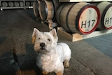 A small dog stands in front of a row of whisky barrels.