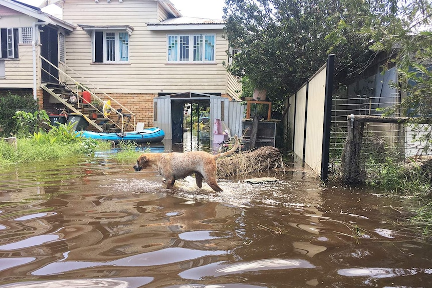 A dog walks in floodwaters in the backyard of a Rockhampton house on April 5, 2017.