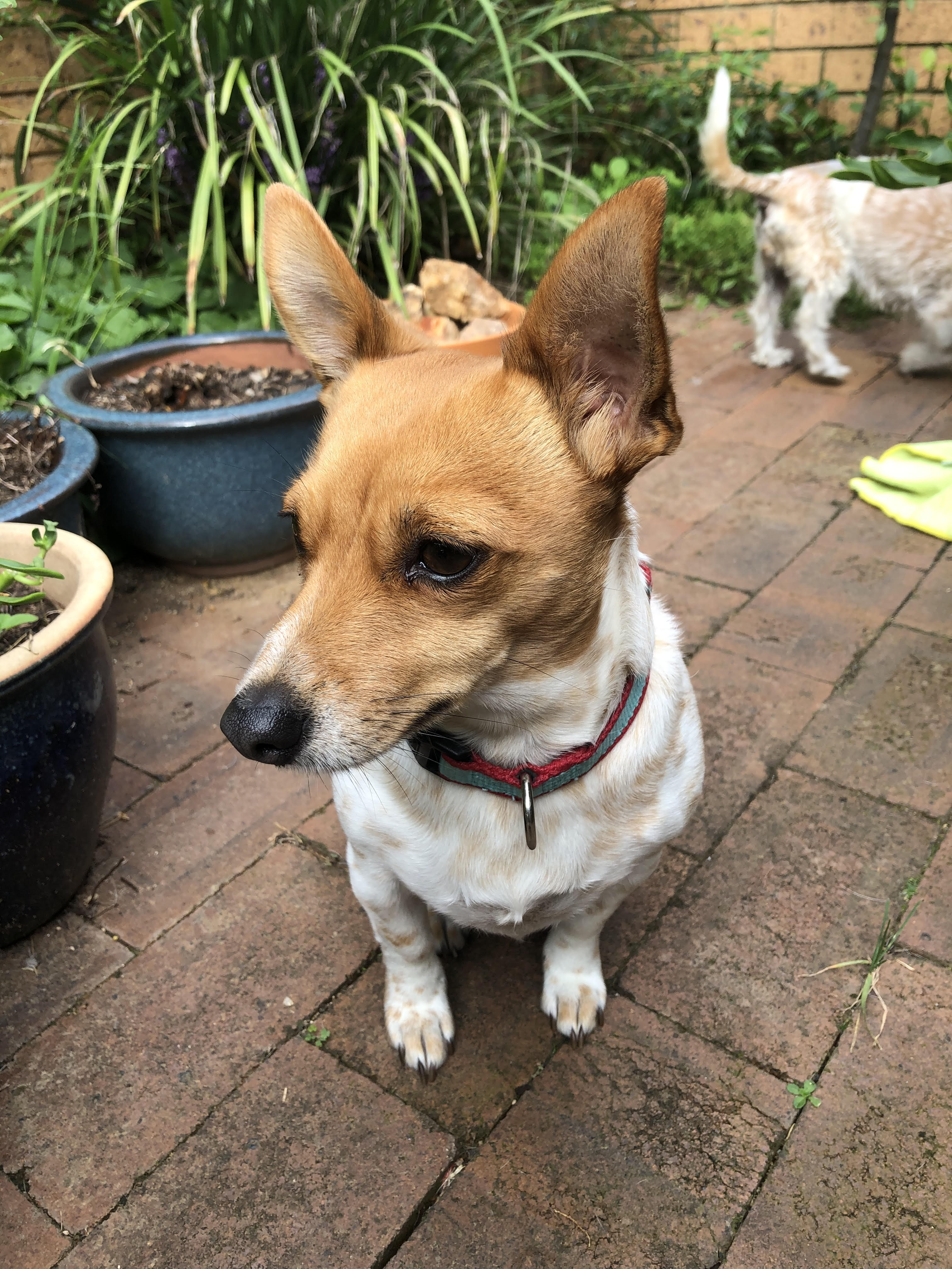 Small dog with brown face and ears and white body stands in a garden.