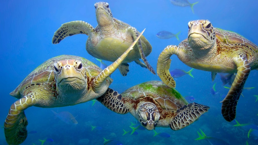 Green turtles swimming in Great Barrier Reef