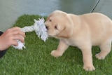 A guide dog puppy pulls on a rope toy