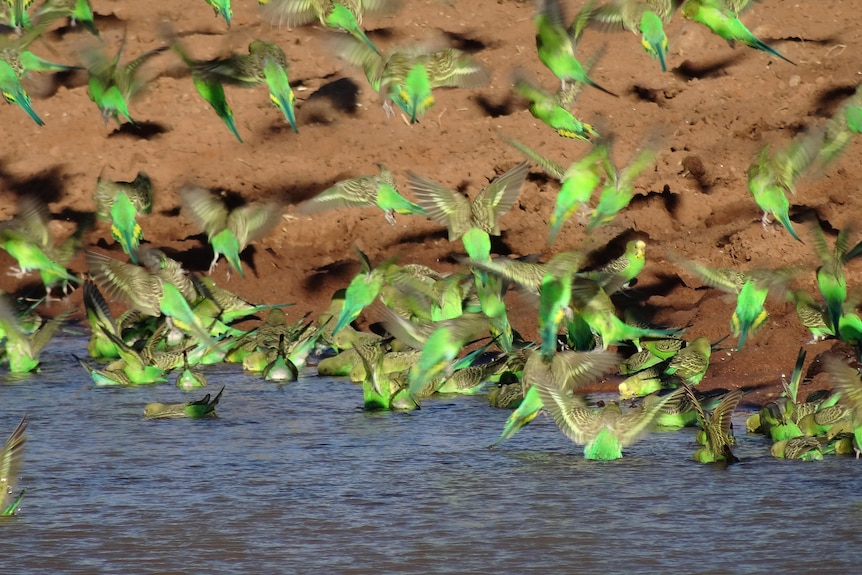 green and yellow small birds drinking at water edge - wings out stretched.