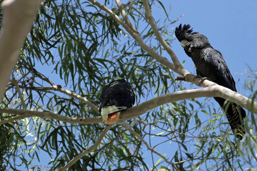 Two cockatoos relax in a tree