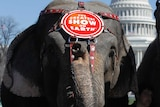 Elephants from Ringling circus in Washington DC