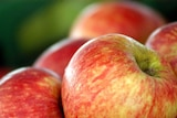Accusations levelled at some Tasmanian fruit growers