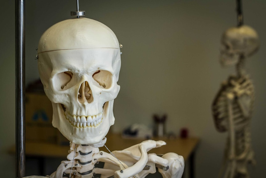 Model skeletons hang in an anatomy laboratory.