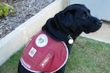 Ruby the assistance dog