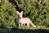 A fox looks directly at the camera. It stands in front of a bush with scavenged food in its mouth.