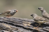 Female zebra finch with two juveniles