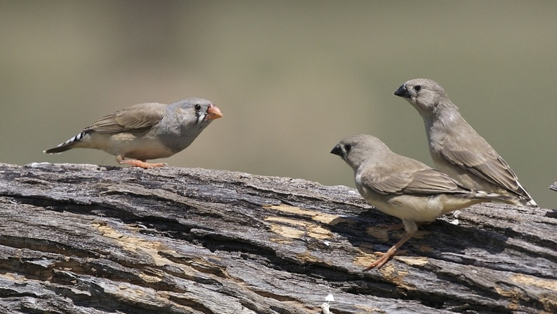 Three zebra finches on a tree branch.