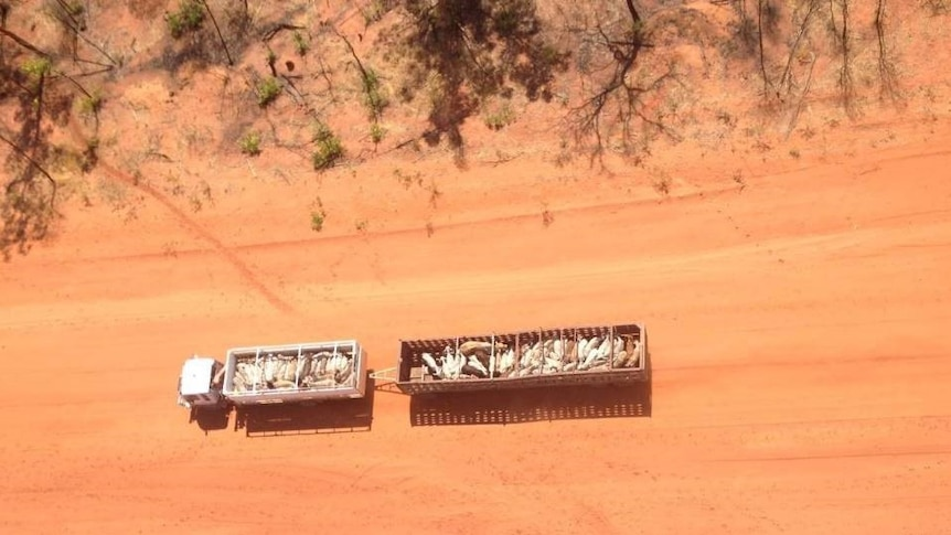 cattle travelling in a truck aerial shot