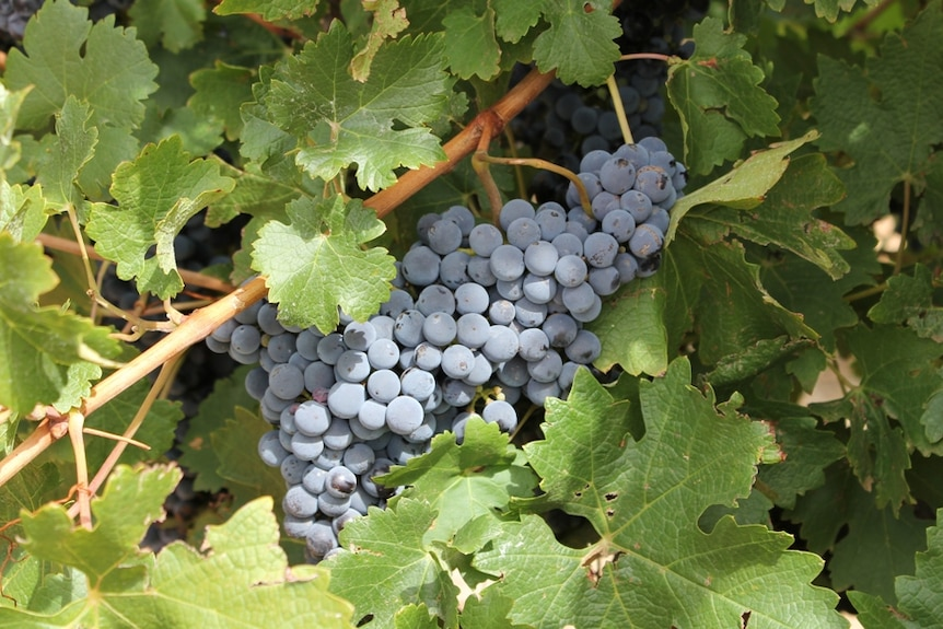 Hunter vignerons are still hoping for bumper crops despite a late start to the season