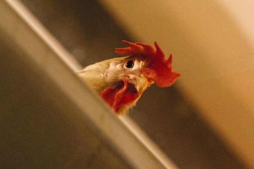 Caged hen at Werribee in Victoria