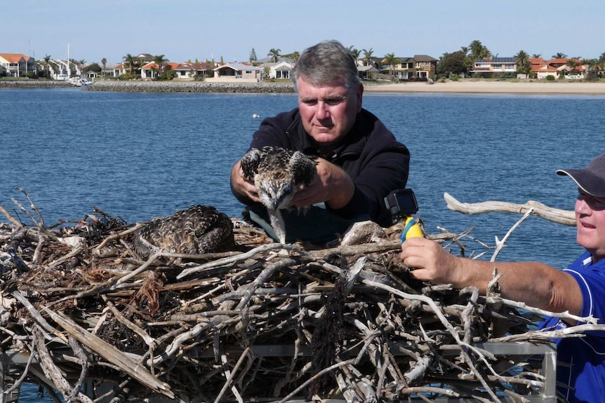 Man reaching over to place osprey eagle in large stick nest, middle of scene, nest across foreground