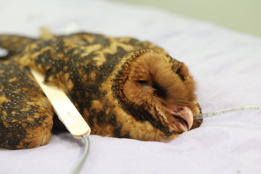 A masked owl with suspected rodenticide poisoning lies unconscious attached to medical machinery.